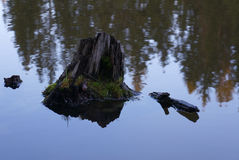 Stump in the water. Stubble stump in the water and reflection of trees Royalty Free Stock Image