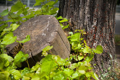 Stump and wood Royalty Free Stock Images