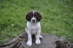 Stumped. English springer spaniel puppy on a stump Royalty Free Stock Images