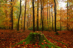 Stumped. This autumn scene was taken in the largest lowland forest in England Royalty Free Stock Image