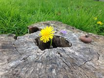 Stumped Dandelion. A yellow dandelion growing out of a stump with a grass background Royalty Free Stock Photo