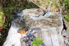 Stumped. Painted Lady in the forest behind my house. She is resting on an old cracked, weatherbeaten tree stump. Some bark still remains around the outside of Royalty Free Stock Photos