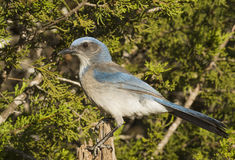 Stumped Scrub Jay Stock Photography