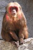 Stumpf-angebundener Makaken Stockbilder