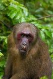Stumpf-angebundener Makaken Lizenzfreies Stockfoto