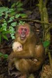 Stumpf-angebundener Makaken Lizenzfreie Stockfotografie