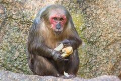 Stumpf-angebundener Makaken (Macaca arctoides) ein Stangenbrot essend Stockfoto