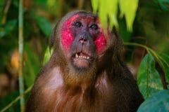 Stumpf-angebundener Makaken, Macaca arctoides, Gibbon-Naturschutzgebiet Lizenzfreies Stockbild