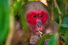 Stumpf-angebundener Makaken, Macaca arctoides, Gibbon-Naturschutzgebiet Stockfoto