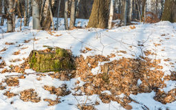 Stumpf bedeckt mit Moos im Wald am sonnigen Tag des Winters stockfoto
