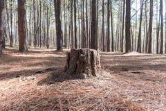 Stumpf der Kiefers im Koniferenwald Stockbilder