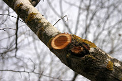 Stumpf des Zweigs   Stockbilder