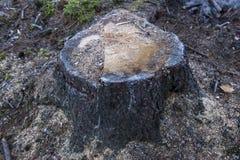 Stumpf in einem tiefen Wald Stockbilder