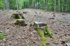 Stumpf eines alten Baums gefällt, Süd-Böhmen Stockfotos