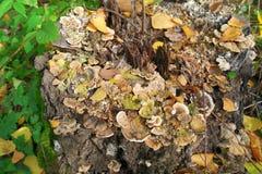 Stumpf mit Pilzen Lizenzfreies Stockfoto