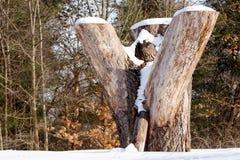 Stumpf mit Schnee im Wald Stockfotografie