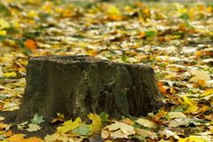 Stumpf und bunte bunte Ahornblätter des Herbstes im Park Stockfotografie
