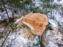 Stumpf und schneebedecktes Holz Lizenzfreies Stockbild
