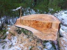 Stumpf und schneebedecktes Holz Stockbild