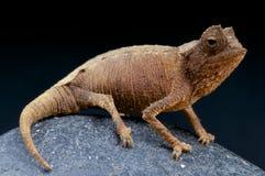 Stumpffi del camaleón/de Brookesia de la hoja Foto de archivo