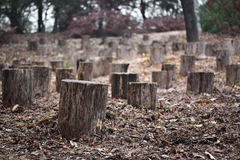 Stumps in autumn forest Royalty Free Stock Images