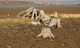 Stumps in drying pond Royalty Free Stock Photo