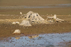 Stumps in drying pond Royalty Free Stock Photography