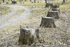 Stumps of felled poplars along the walkway Royalty Free Stock Images