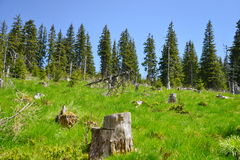 Stumps in the forest of conifers Royalty Free Stock Images