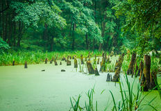 Stumps in the forest swamp Stock Photo