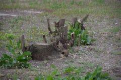Stumps Stock Photography