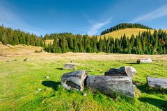 Stumps and logs on a grassy meadow. Spruce forest on the hill. beautiful landscape in mountain on a sunny autumn day royalty free stock photography