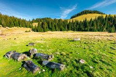 Stumps and logs on a grassy meadow. Spruce forest on the hill. beautiful landscape in mountain on a sunny autumn day stock images