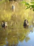 Stumps In The Marsh. Three tree stumps rising up through a marshland lake stock images