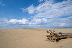 The stumps of old trees on the sand Stock Photography