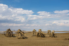 The stumps of old trees on the sand Royalty Free Stock Image