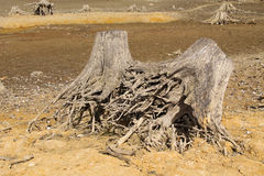 Stumps with revealed roots Royalty Free Stock Photography