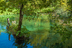 Stumps of trees under water. Plitvice lakes Royalty Free Stock Photos