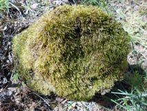stumptree fiszorek obrazy stock