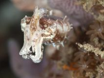 Stumpy-spined cuttlefish. In molucca sea Royalty Free Stock Photo