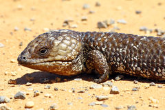Stumpy tailed lizards (Tiliqua rugosa) abound in rural Australia Royalty Free Stock Image