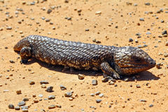 Stumpy tailed lizards (Tiliqua rugosa) abound in rural Australia Royalty Free Stock Photos