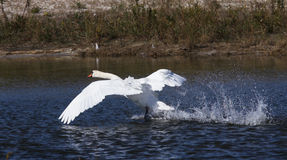 Stumt Swanflyg Royaltyfri Bild