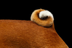 Stuning White with Red Basenji Dog on  Black Background Stock Images