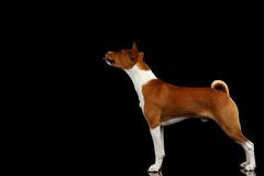 Stuning White with Red Basenji Dog on  Black Background Stock Image