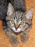 Stunned Amazed Tabby Kitty Stock Photo