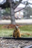 Stunned Squirrel. Shocked Squirrel Royalty Free Stock Photography