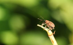 A stunning Acorn Weevil Curculio glandium perching on a plant. royalty free stock photography