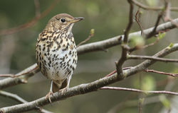 A stunning adult Song Thrush, Turdus philomelos, perched on a branch. A beautiful adult Song Thrush, Turdus philomelos, perched on a branch Royalty Free Stock Photography