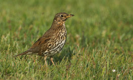 A stunning adult Song Thrush Turdus philomelos searching for food in the grass. Stock Photos